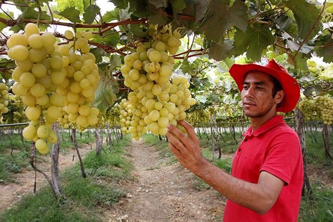 Florisvaldo, assentado do MST, apresenta a plantação de uvas. Fotos: Verena Glass