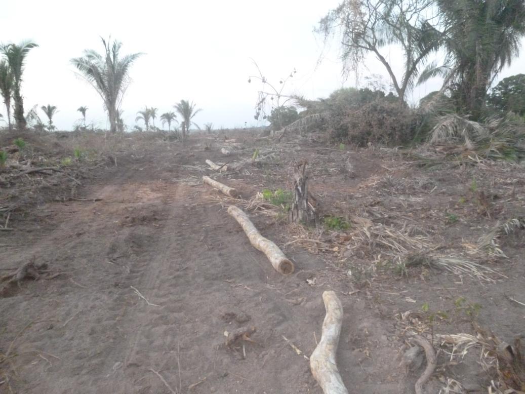 Área da mata de babaçu desmatada por trator